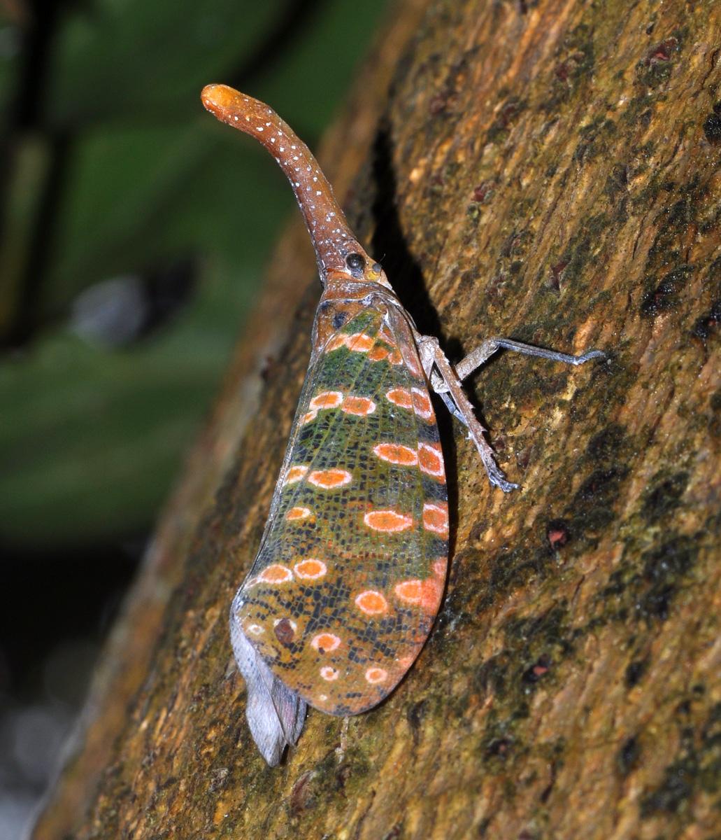 cicada cu felinar1