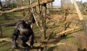 Nici cimpanzeii nu au drag de drone!