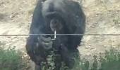 cimpanzeu fumand - sursa foto the Mirror