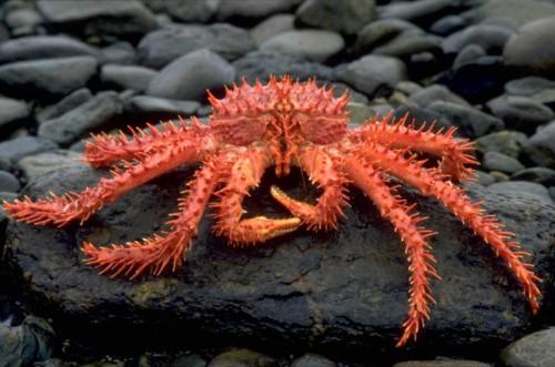 crabul regal