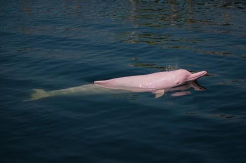 delfin roz1