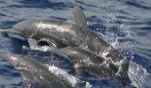 Dispozitiv pentru intelegerea delfinilor!