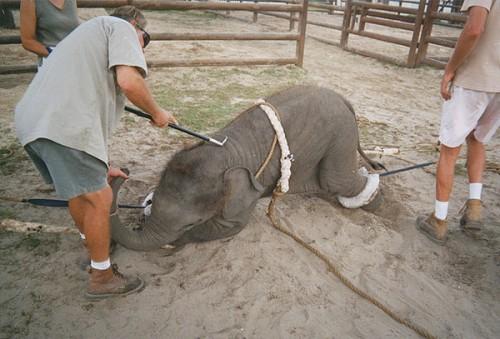 elefant batut