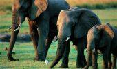 O asociatie din Malawi muta 500 de elefanti pentru a-i feri de braconieri