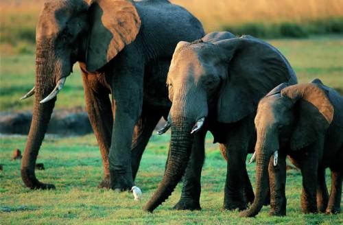 Elefantii din Africa, aparati cu tehnologii moderne