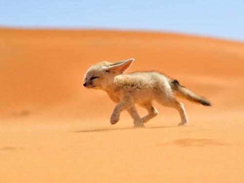 Vulpea desertului – un companion energic!