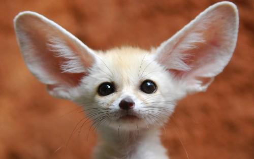 fennec fox1