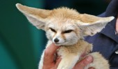 This is Savannah the Fennec Fox! She's only 10 months old. She's training to be an animal actor.