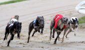 Descoperire socanta in Australia. Ce se intampla cu majoritatea ogarilor care nu sunt competitivi in cursele de caini?