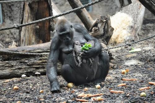 Suferinta unei gorile de la Zoo