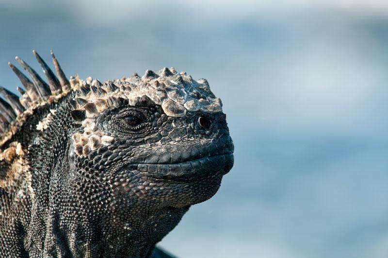 iguana marina2