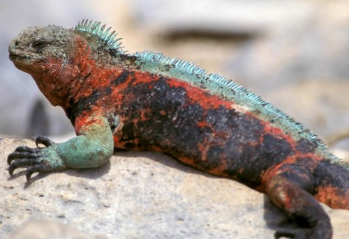 iguanamarina