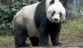 Jia Jia – cea mai batrana panda, in captivitate
