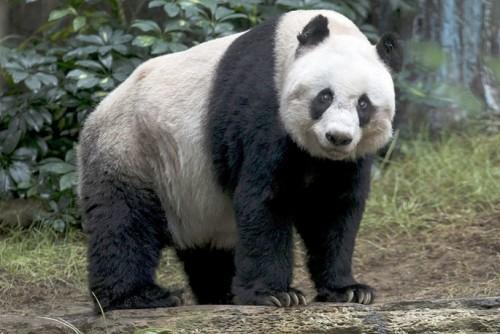 Jia Jia – cea mai batrana panda, in captivitate