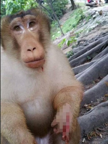 """O maimuta mutilata de """"oameni"""""""