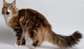 maine coon sursa foto: www.yourcat.co.uk