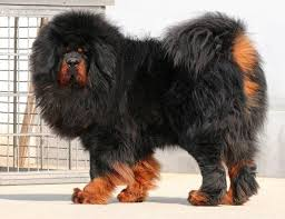 mastif tibetan