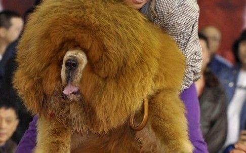 Ce exemplar canin costa cat o masina de superlux?