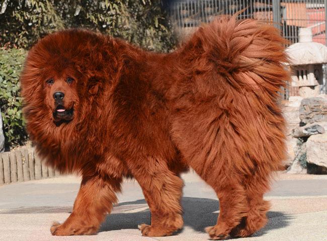 mastiff rosu tibet