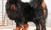 mastiff tibetan2