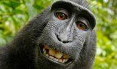 NARUTO a pierdut procesul! Maimuta nu poate avea drepturi asupra selfie-urilor sale!