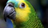 papagal1