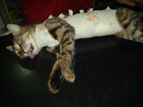 Cum este recuperarea unei pisici, dupa sterilizare?