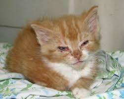 pisica bolnava rinotraheita1