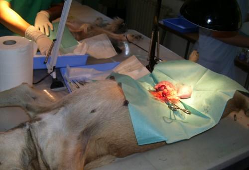 Sterilizare gratuita pentru cainii si pisicile din Brasov