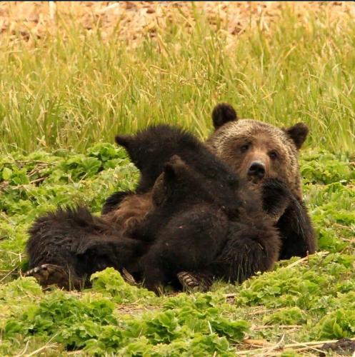 Cerere pentru ursi