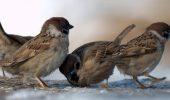 Daca o vrabie mascul are impresia ca partenera il inseala, se razbuna pe pui
