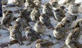 Zgomotul masinilor scade speranta de viata a vrabiilor
