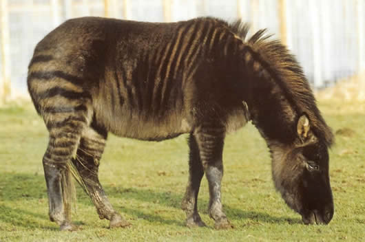 zebroid
