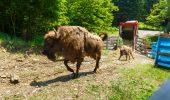 WWF-România: Populația de zimbri liberi din Carpații Meridionali va depăși 100 de exemplare, până în anul 2020