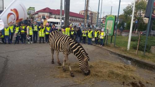zebra circul globus