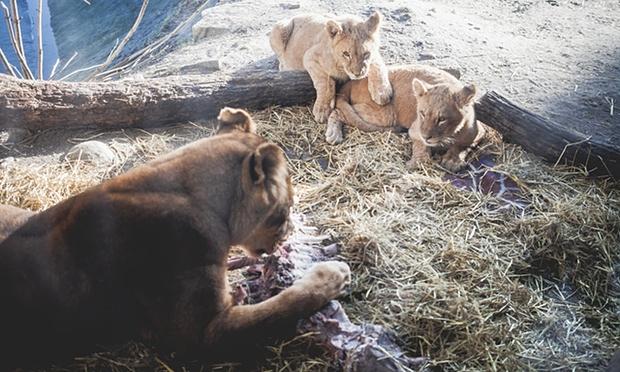 imagine in care leii mancau ramasitele girafei Marius