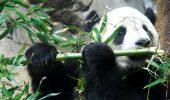 Enigma… ursului panda gigant