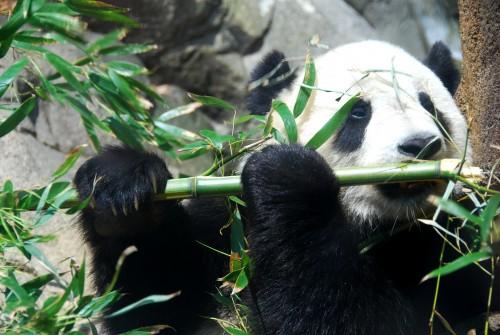 O constatare de bun simt! Ursii panda gigant se reproduc mai bine daca isi aleg singuri partenerul!