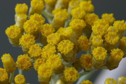 Helichrysum augustfoloum