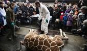 autopsia publica a girafei Marius