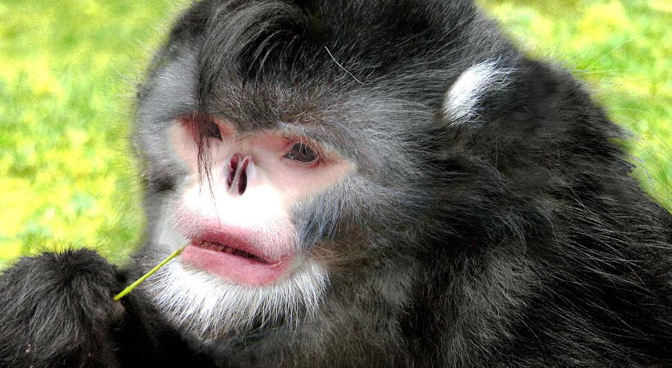 Rhinopithecus strykeri