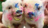 """Se vor clona """"adevaratii porci pitici"""". Cat va costa un exemplar?"""