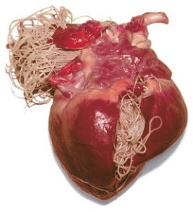 Viermi-cardiaci-275x300