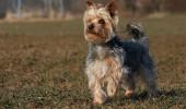Curajosul, inteligentul si afectuosul Yorkshire Terrier