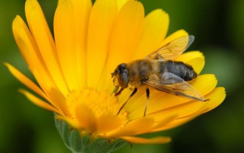 Albinele, dependente de cofeina?