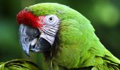 Ce se intampla cu papagalii Ara?