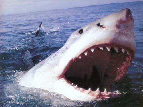Incalzirea apelor a dus la un numar record de atacuri ale rechinilor, in 2015
