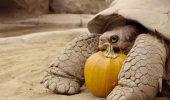 Testoasele de la Zoo din San Diego au sarbatorit Halloween-ul, cu dovleac!