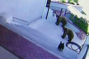 Priviti cat curaj: un buldog francez pune pe fuga trei ursi!