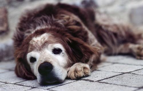 Adopta un câine bătrân.